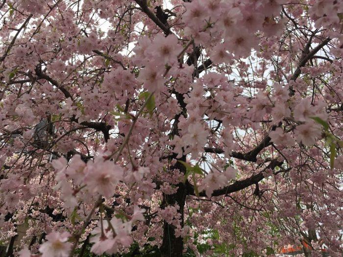 パンラン 桜