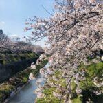 山崎川お花見ラン